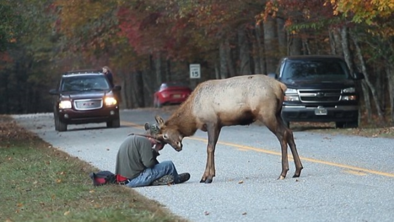 Elk That Headbutted Photographer Euthanised Because It Was No Longer Scared Of Humans