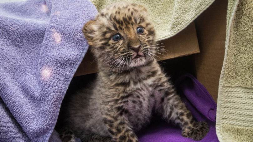 Watch These Adorable Rare Leopards Have The Cutest Playfight Ever