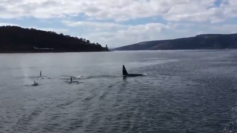 Pod Of Killer Whales Spotted In Scotland