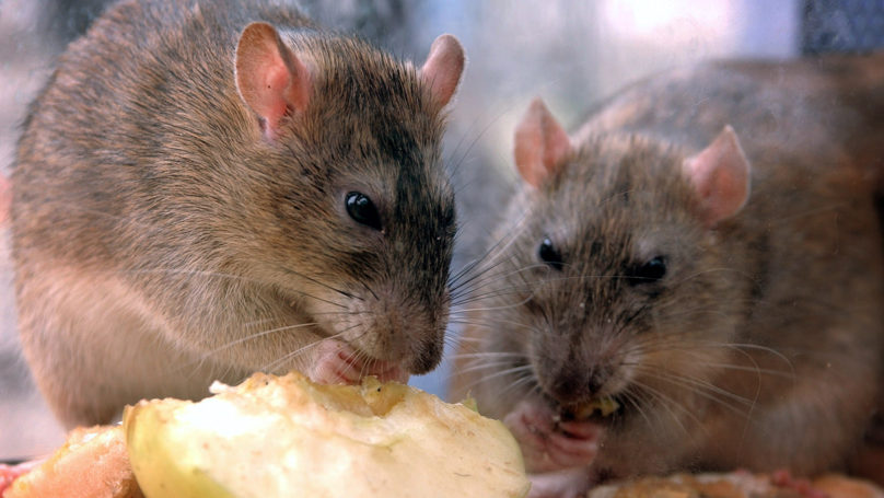 Rats Eat £13,000 Worth Of Currency Inside An Indian ATM Machine