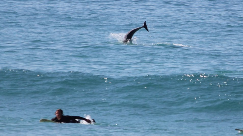 Dolphins Join Surfers In Cornwall And It's Possibly The Best Thing That's Ever Happened