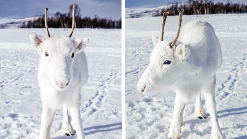Stunning Rare White Reindeer Spotted 'Posing' For Camera In Norway