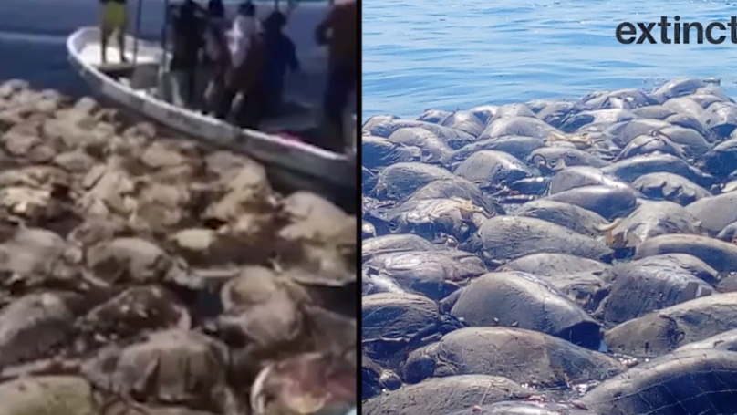 More Than 300 Endangered Turtles Found Dead In Illegal Fishing Net