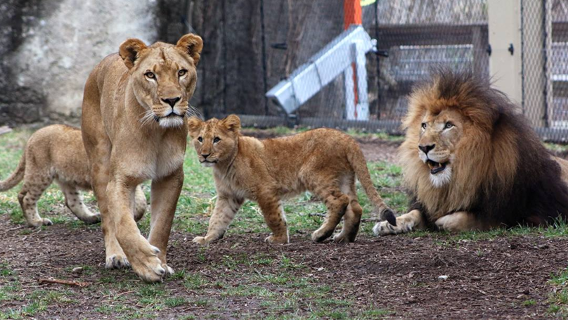 Lioness Kills The Father Of Her Three Cubs At Indianapolis Zoo