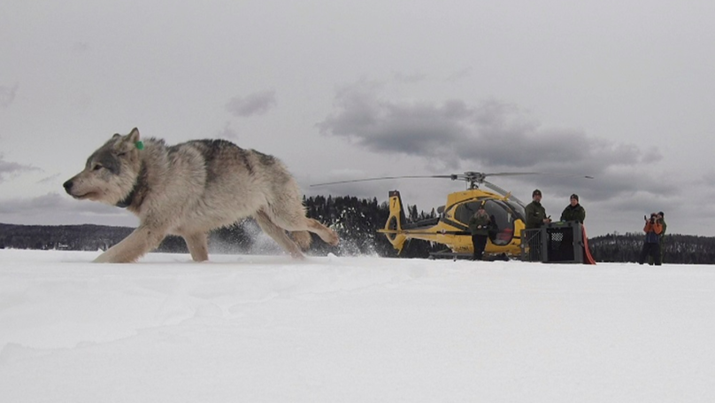Specialist Canadian Wolves Airdropped Into The USA To Hunt Down Moose
