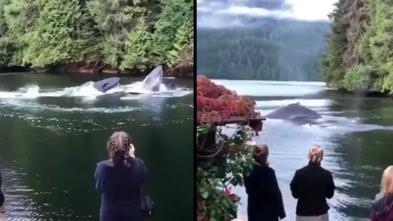 Humpback Whales Swim Right Outside Lodge On Canadian Lake