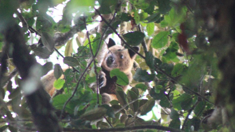 British Tourist Captures Photo Of Rare Tree Kangaroo Thought To Be Extinct