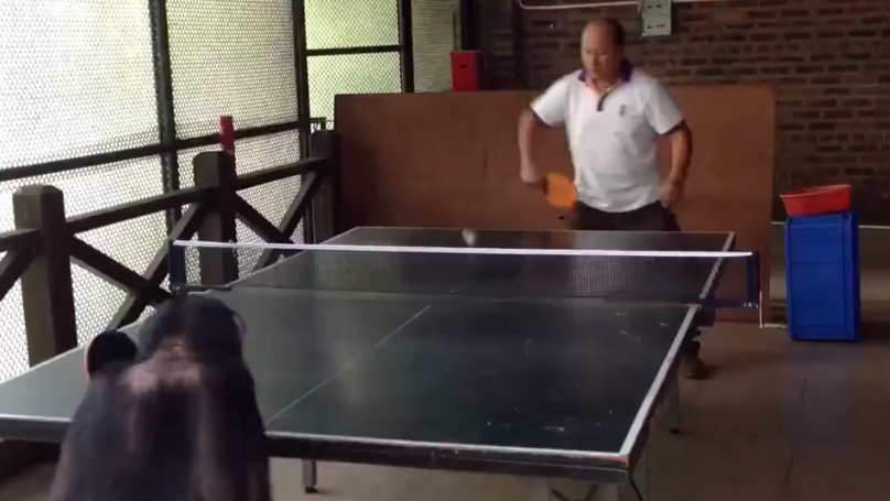 Watch: This Monkey Would Beat You At Table Tennis