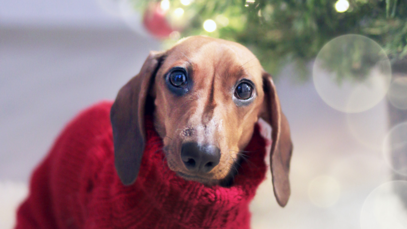 Hundreds of Sausage Dogs In Christmas Jumpers Are Meeting In Hyde Park