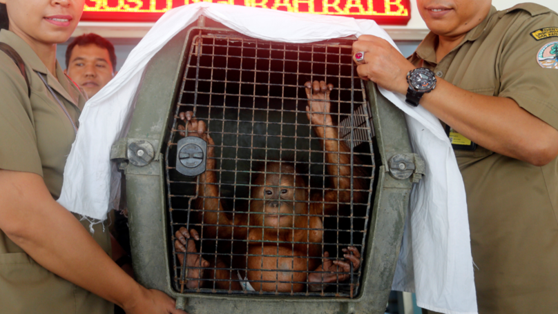 Tourist Arrested After Officials Discover Drugged Orangutan In His Suitcase