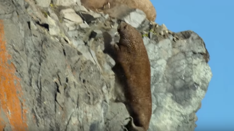 ​Our Planet Film Crew Open Up About Heartbreaking Walrus Scene