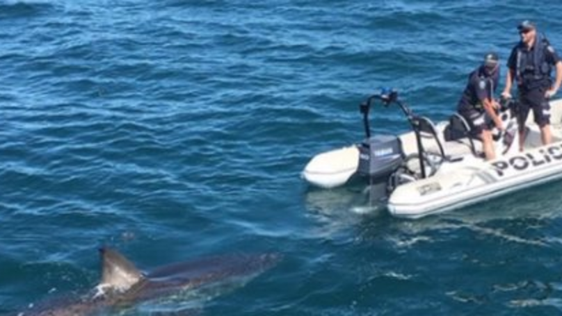 Tiny Police Boat Is Tailed By Five-Metre White Shark