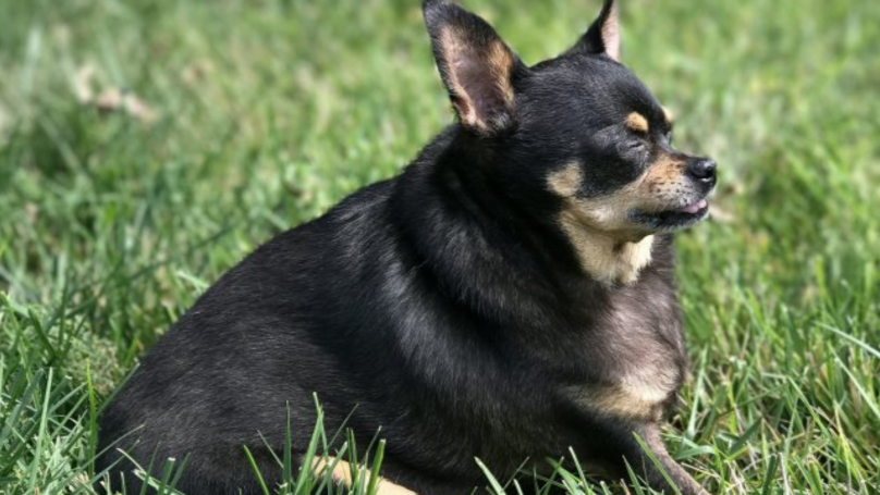 Bertha The Obese Chihuahua Lost Half Her Body Weight And Now She Looks STUNNING