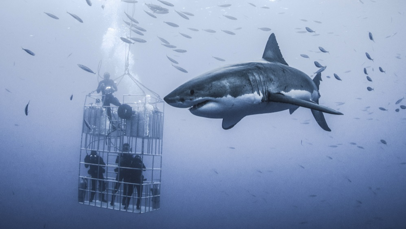 Massive Great White Shark Looms Over Cage Divers In Mexico