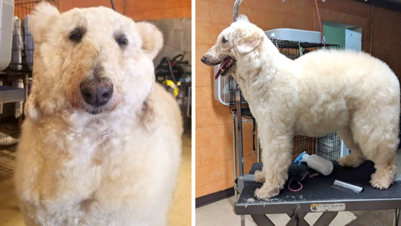 Woman Turns Her Pet Poodle Into An Adorable Polar Bear And It's So Realistic