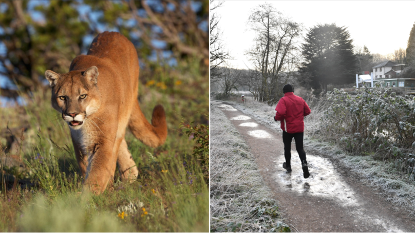 Brazilian Jiu-Jitsu Trained Jogger Kills Cougar With Bare Hands After It Attacks Him