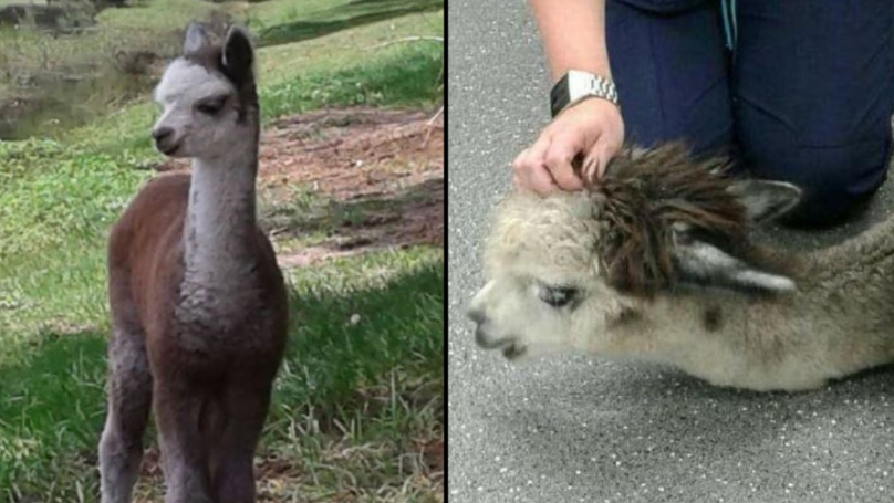 Alpaca Tragically Dies After Motorist Dumps Crisps In Its Enclosure