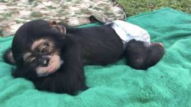 Heartwarming Footage Shows Chimp's Reaction To Seeing His Human Parents