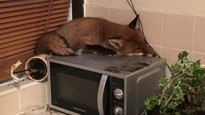 Family Preparing For Breakfast Find Fox Asleep On Top Of Microwave