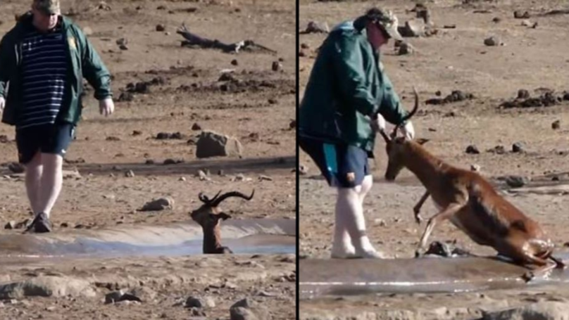 Tourist Rescues Wild Impala Stuck In Mud At South African National Park