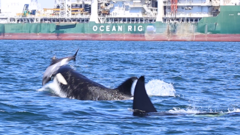 Killer Whales Filmed Flipping Dolphin In The Air Before Skinning And Disembowelling It