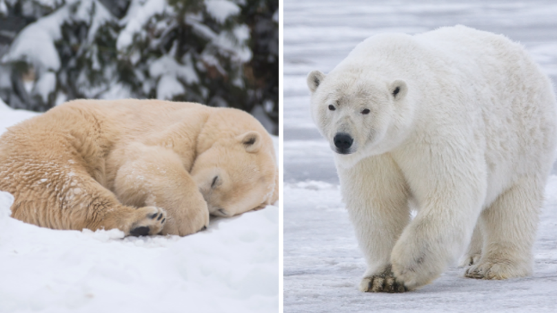 Yorkshire Wildlife Zoo Is Offering You A Chance To Meet A Polar Bear