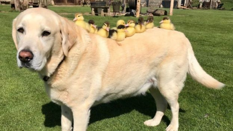 Labrador Adopts Nine Abandoned Ducklings At Castle