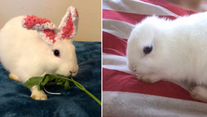 Tiny Bunny Born Without Ears Gets Adorable Knitted Replacements