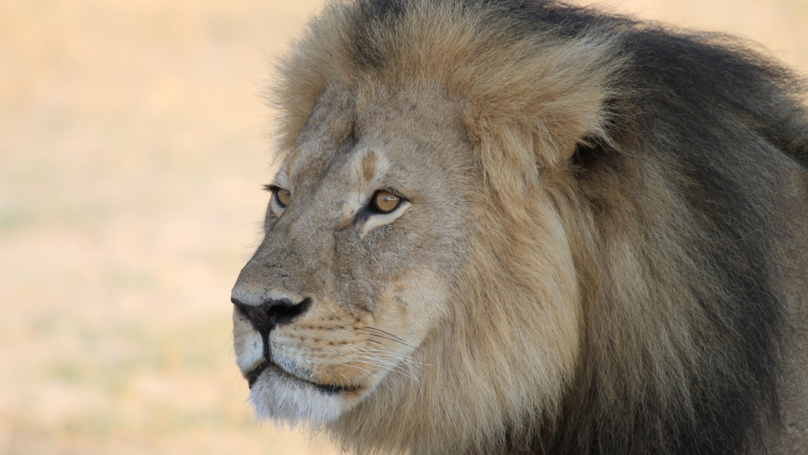 Cecil The Lion's Son Has Been Shot By Trophy Hunters In Zimbabwe