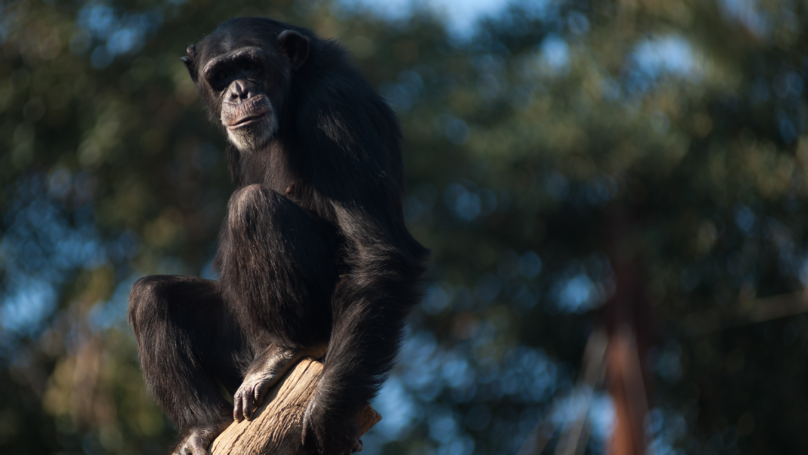 Chimpanzee Meat Is Being Brought Into The UK And Eaten At Weddings, Professor Claims