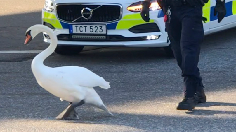 Policeman Chases Swan Through Busy Traffic In Real Life Hot Fuzz
