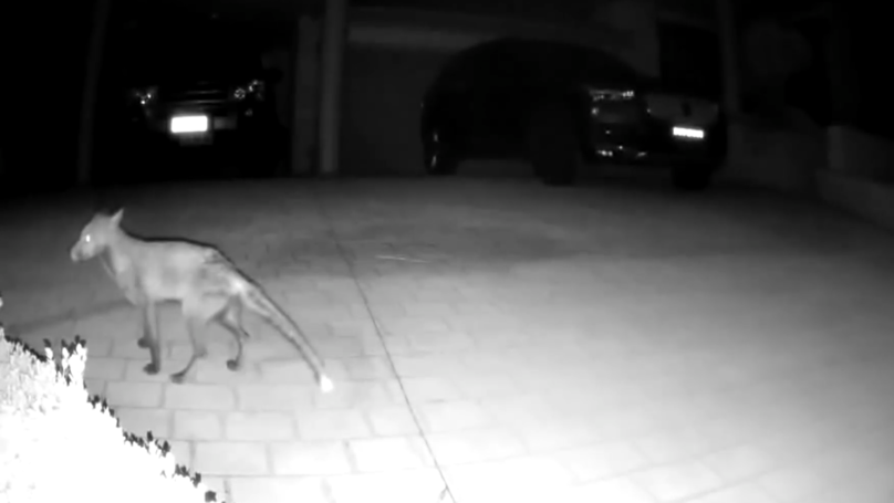 Back From The Dead? Mysterious Animal Filmed Crossing Driveway In Australia