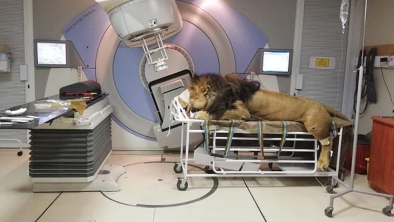 A Lion With Skin Cancer Has Received Radiation Therapy In Hospital