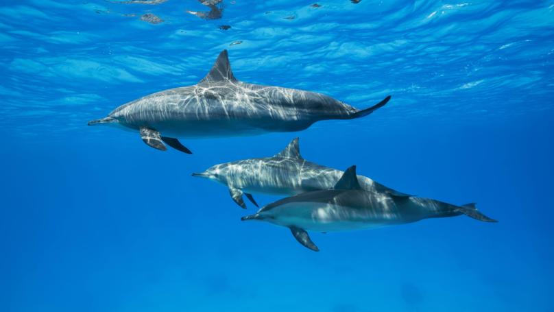 Female Dolphins May Experience Similar Sexual Pleasure To Humans