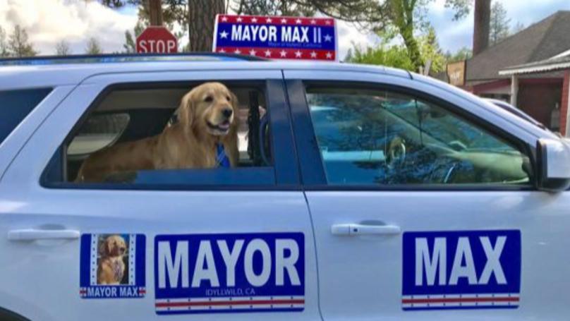 A Town In California Has Chosen A Golden Retriever To Be Its Mayor