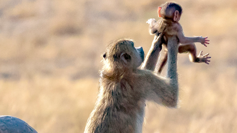 Monkey Holds Its Baby In The Air Just Like In The Lion King
