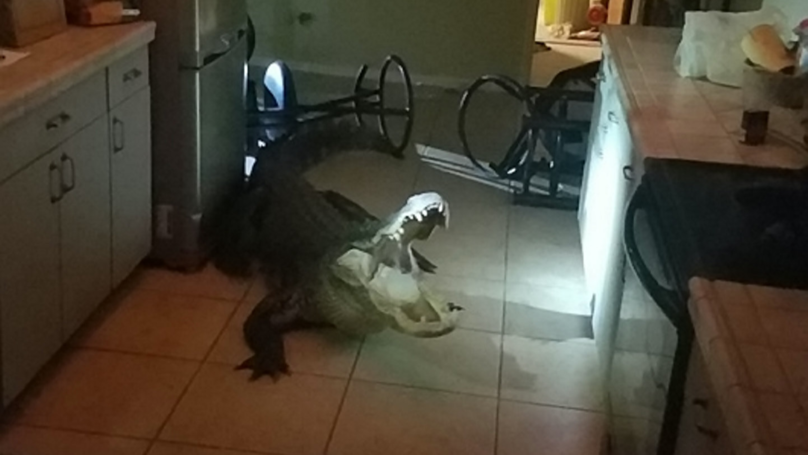 Woman Comes Downstairs To Find Alligator In Her Kitchen