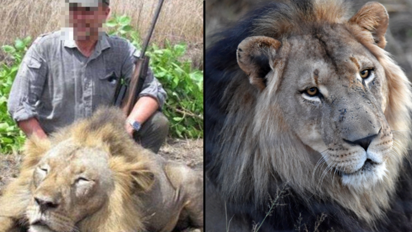 Thousands Of Lions Are Being Bred On Farms To Be Shot By Hunters