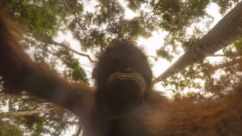 Orangutan Steals Photographer's GoPro, Takes Hundreds Of Selfies