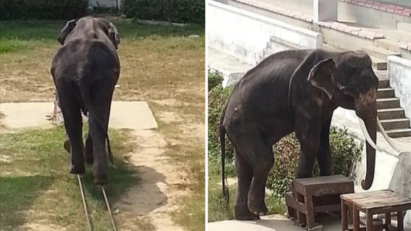 Severely Underweight Elephant Forced To Perform Circus Tricks