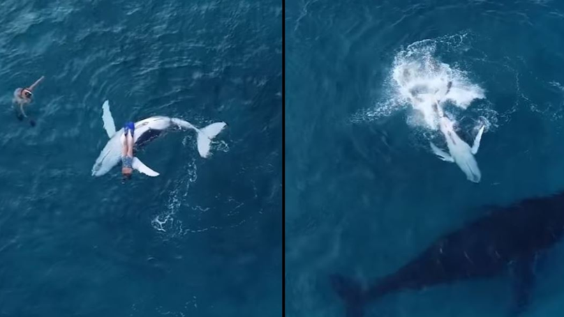 Curious Baby Whale Leaves Mum To Cuddle Up To Diver
