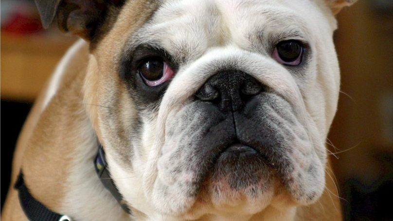 PDSA Is Looking For Chubby Pets To Join Its Slimming Club Competition