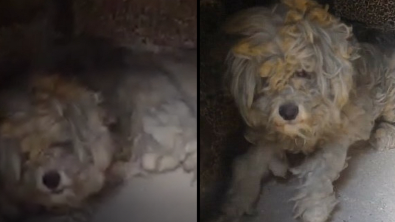 Incredible Moment Burnt And Hungry Dog Is Found Hiding In Oven To Escape Raging Wildfires