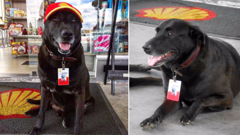 Abandoned Dog Lands Himself A Job At A Petrol Station