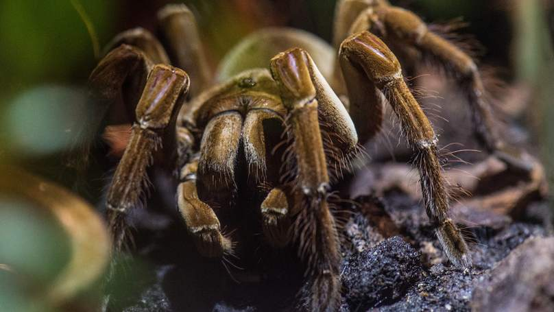 Venomous Tarantulas Could Be On The Loose In The Derbyshire Countryside