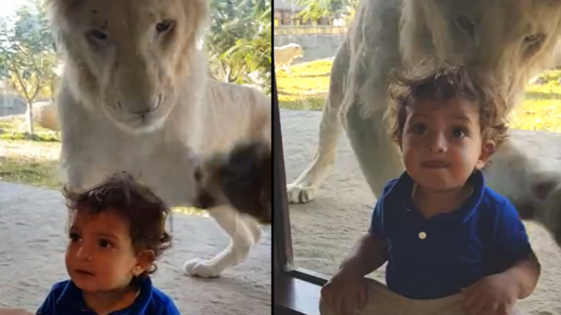 Little Boy Gives Absolutely No Sh*ts As Lion Tries To Attack Him From Behind Glass