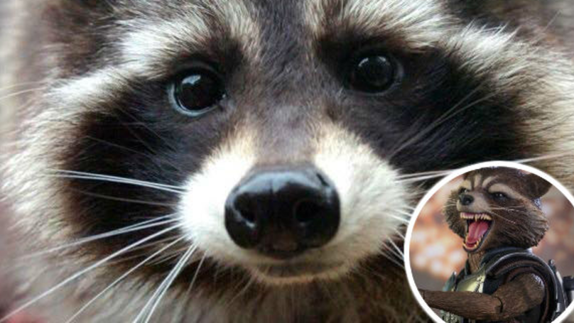 Oreo The Raccoon Who Inspired Guardians Of The Galaxy Character Has Died