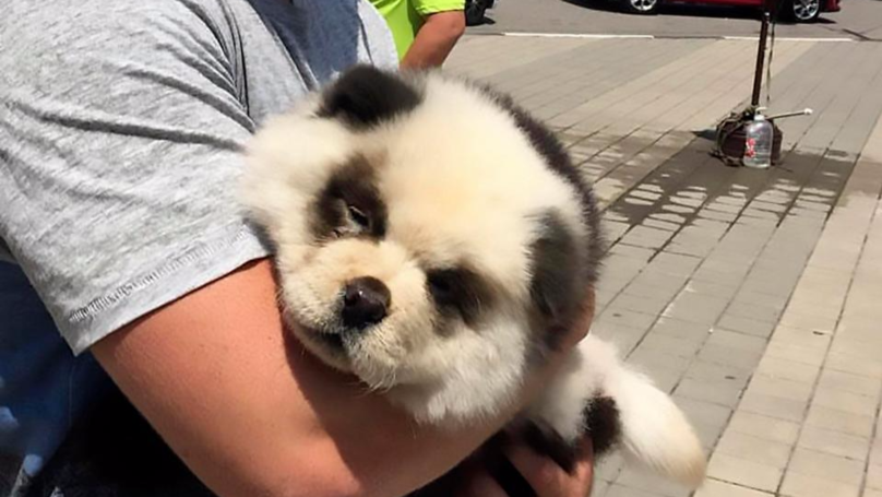 Russian Couple Scam Tourists With Dog Coloured To Look Like Panda Cub