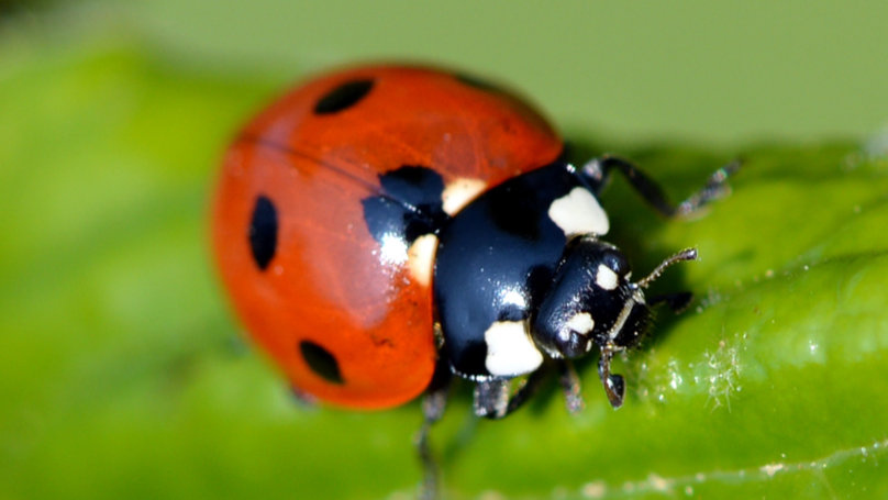 ​Millions Of Ladybirds With STDs Due To Hit UK