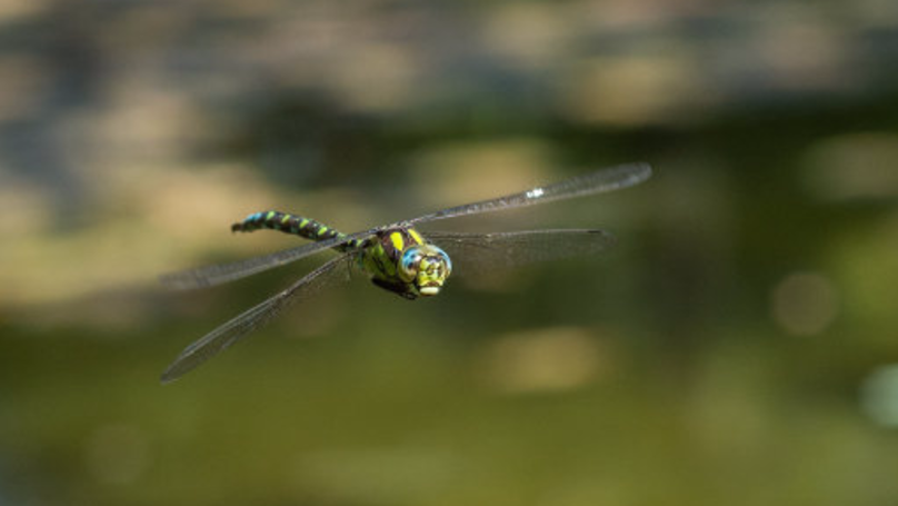 Female Dragonflies Fake Their Own Death To Avoid Males